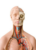 Human anatomy dummy — Stock Photo