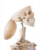 Skeleton with open cranium — Stock Photo