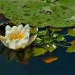 Stock Photo: White waterlilly