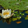 White waterlilly — Stock Photo