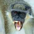 A black faced vervet monkey baring its teeth — Stock Photo #9011404