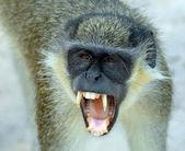 Un mono vervet frente negro enseñando los dientes — Foto de Stock