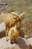 A mouflon ram standing on a rock — Stock Photo