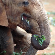 Baby elephant eating leaves 2 — Stock Photo