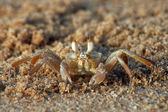 Brown crab — Stock Photo