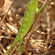 Close up of a green chameleon — Stock Photo #9075679