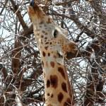 Close up of desert giraffe eating from tree 2 — Stock Photo #9076194