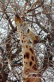 Close-up de deserto girafa comer da árvore 2 — Foto Stock