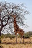 Wüste giraffe vom baum essen — Stockfoto