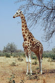Desert giraffe looking left — Stock Photo