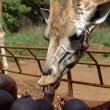 Stock Photo: Giraffe being fed by Africchildren