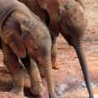 Two baby elephants drinking 2 — Stock Photo