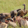 Stock Photo: Vultures eating buffalo carcass on Africplains