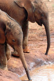 Two baby elephants drinking — Stock Photo