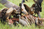 Vultures attacking and eating a buffalo carcass — Stock Photo