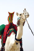 Nomad camel with saddle facing forward — Stock Photo