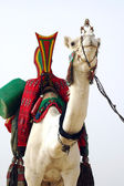 White Tuareg camel looking forward — Stock Photo