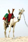 Nomad camel standing in the desert — Stock Photo