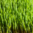 Stock Photo: Green Organic Wheat Grass