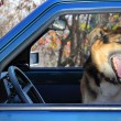 Funny dog yawning in a car — Stock Photo