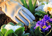 Gardening primroses — Stock Photo