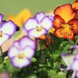 Defocused violets - Stock Photo