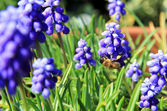 Busy bee on muscari — Stock Photo