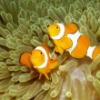 Two Clown Anemonefishes — Stock Photo #9008628