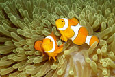 Two Clown Anemonefishes — Stock Photo