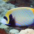 Angelfish — Stock Photo #9059824