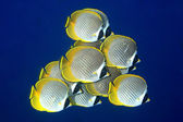 School of Butterflyfish — Stock Photo