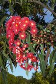 Red Gum Tree Flowers — Stock Photo