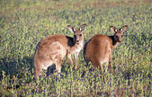 Two Eastern Grey Kangaroos — Stock Photo