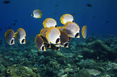 Butterflyfish — Stock Photo
