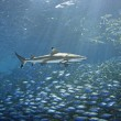 Blacktip Reef Shark and Fish — Stock Photo
