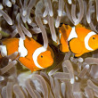 Two Clownfish - Foto Stock