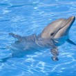 Bottlenose Dolphin — Stock Photo #9231217