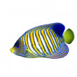 Постер, плакат: Regal Angelfish