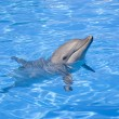 Bottlenose Dolphin — Stock Photo #9255976