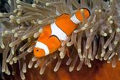 小丑 anemonefish — 图库照片