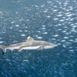 Stock Photo: Blacktip Reef Shark with Fish