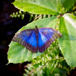 The Peleides Blue Morpho butterfly, Morpho peleides — Stock Photo