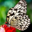 Stock Photo: The paper kite butterfly, Rice Paper or Large Tree Nymph, idea l