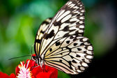 The paper kite butterfly, Rice Paper or Large Tree Nymph, idea l — Stock Photo