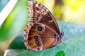 The Peleides Blue Morpho butterfly, Morpho peleides — Stock Photo