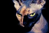 Self confident Sphynx cat on a black background — Stock Photo