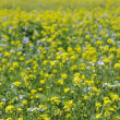 Stock Photo: Oilseed plants field