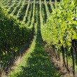 Green vineyard hills — Stock Photo
