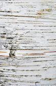 Huş kabuğu dokusu — Stok fotoğraf