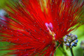 Red flower blossoming — Stock Photo